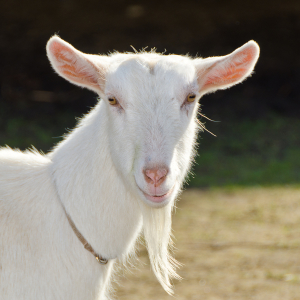 bigstock-Goat-on-the-farm--26751587