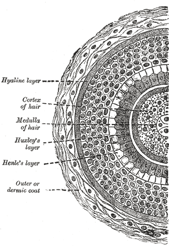 FIG. 945– Transverse section of hair follicle. http://www.bartleby.com/107/234.html