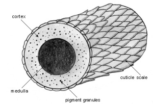 Generic diagram of hair cuticle. There are actually many different types of hair cuticle designs, which are usually specific to the animal. Science!